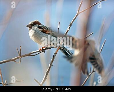 A common House sparrow, Passer domesticus, in a bush along the Deschutes River in Central Oregon in January. - Stock Photo