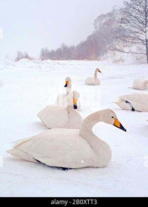 whooper swan (Cygnus cygnus), troop lying on frozen lake, Japan, Hokkaido - Stock Photo