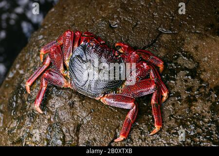 Red rock crab (Grapsus adscensionis), top view, Madeira - Stock Photo