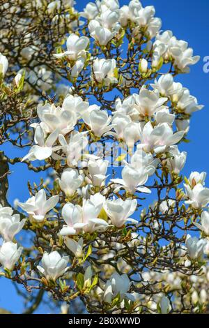 saucer magnolia (Magnolia x soulangiana 'Amabilis', Magnolia x soulangiana Amabilis, Magnolia soulangiana, Magnolia x soulangeana, Magnolia soulangean - Stock Photo