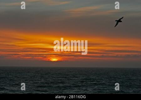 Antarctic petrel (Thalassoica antarctica), flying over the South Atlantic in the morning, Antarctica - Stock Photo