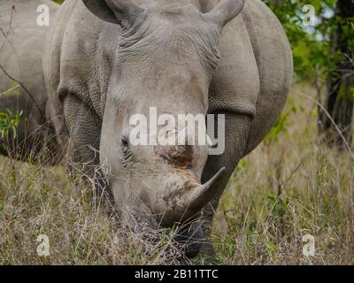 Closeup of an endangered white rhino (Ceratotherium simum) grazing in Kruger Nationalpark, South Africa - Stock Photo