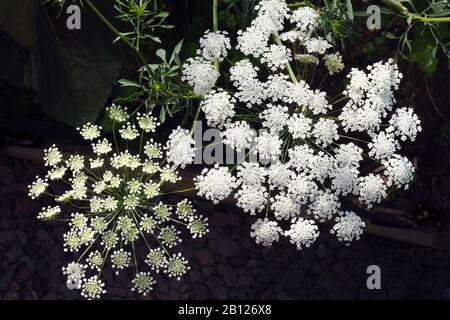 Ammi majus, Apiaceae, Bishop's Weed, false Queen Anne's lace, Grown from seed in UK gardens annually for its pretty white lace-like flower clusters.