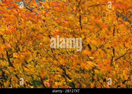 Cherry leaves blowing in autumn wind. Japanese scented cherry Prunus serrulata Jo-nioi Stock Photo