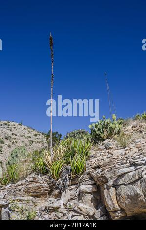Agave plant in Big Bend National Park in West Texas - Stock Photo