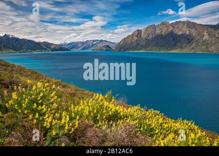Russell lupines blooming over Lake Hawea, Otago Region, South Island, New Zealand