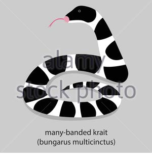 Illustration of a many-banded krait (bungarus multicinctus). This breed of snake may have altered the CoV to make transmission from bats to humans - Stock Photo