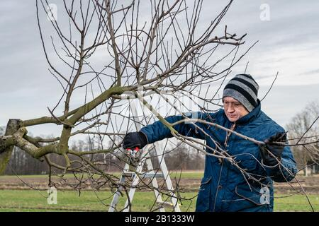 A man working in the garden, pruning an apple tree. Farmer is pruning branches of fruit trees at early springtime. Spring pruning of fruit trees. - Stock Photo