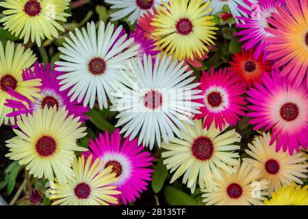 Colorful collage of livingstone daisies as background - Stock Photo