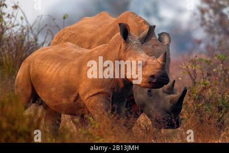 white rhinoceros, square-lipped rhinoceros, grass rhinoceros (Ceratotherium simum simum), mother with rhino calf in the savannah, South Africa, Mpumalanga, Kruger National Park - Stock Photo