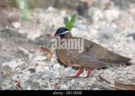 blue-headed quail dove (Starnoenas cyanocephala), on the feed on the ground, Cuba, Zapata  National Park - Stock Photo