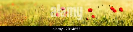Field with red poppy (Papaver) in morning light, panorama, selective sharpness, Saxony-Anhalt, Germany - Stock Photo