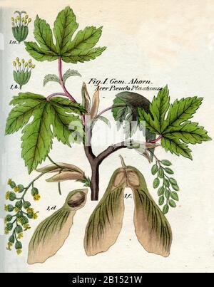 sycamore, Acer pseudoplatanus, Bergahorn, érable sycomore,  (botany book, 1850) - Stock Photo