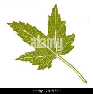 sycamore, Acer pseudoplatanus, Bergahorn: Blatt, érable sycomore,  (, ) - Stock Photo