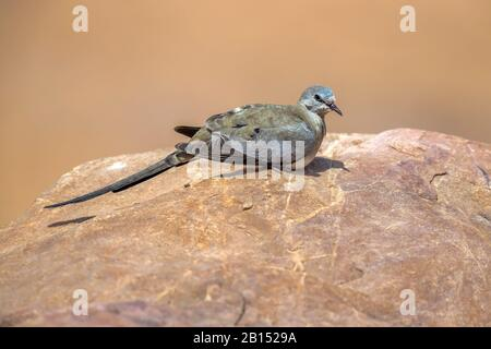 namaqua dove (Oena capensis capensis), female perching on a rock, side view, Israel - Stock Photo