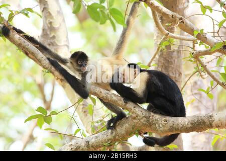 White-faced Capuchin Monkey (Cebus capucinus) grooming a Central American Spider Monkey (Ateles geoffroyi). Santa Rosa National Park, Guanacaste, Cost - Stock Photo