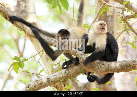 White-faced Capuchin Monkey (Cebus capucinus) and a Central American Spider Monkey (Ateles geoffroyi). The capuchin had been removing parasites from t - Stock Photo