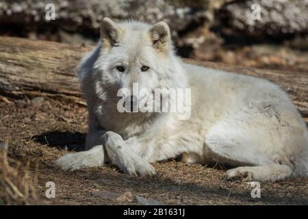 Arctic Wolf (Canis lupus arctos) posing in the woods early spring - Stock Photo