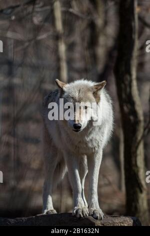 Arctic Wolf (Canis lupus arctos) standing on rock in the woods early spring - Stock Photo