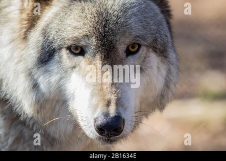 Arctic Wolf (Canis lupus arctos) closeup in the woods early spring - Stock Photo