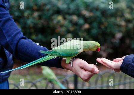 Female Rose ringnecked Parakeet feeding from the hand of tourists in Hyde Park, London. - Stock Photo