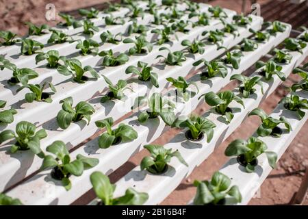 Green lettuce growing on hydroponic system on the farm. Organic food, agriculture and hydroponics concept