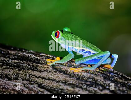 A very colorful red eyed tree frog sits on a log at night in a Costa Rica rainforest in La Fortuna near the Arenal volcano.