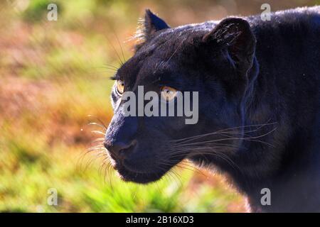 Close-up Portrait of a Black Leopard