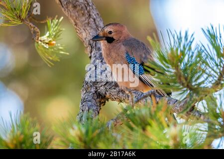 Cyprus Jay (Garrulus glandarius glaszneri), sitting on a branch, Cyprus, Limassol - Stock Photo