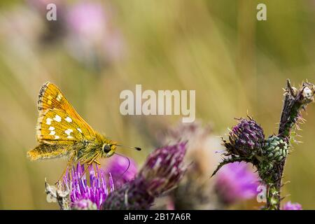 Silver-spotted skipper, Common branded skipper, Holarctic grass skipper (Hesperia comma), lateral view, Netherlands, Frisia - Stock Photo
