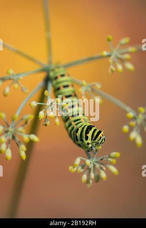 Old World Swallowtail caterpillar on fennel food plant (Papilio machaon)