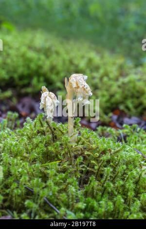 Yellow Bird's-nest (Hypopitys monotropa) growing in damp woodland near Wrexham North Wales UK June 2019 53781 - Stock Photo