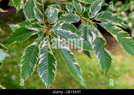 Spanish chestnut, sweet chestnut (Castanea sativa Variegata, Castanea sativa 'Variegata'), cultivar Variegata - Stock Photo