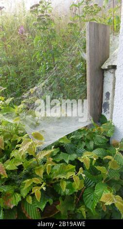 Sheet-web weaver, Line-weaving spider, Line weaver (Linyphia triangularis), spiderweb, Germany - Stock Photo