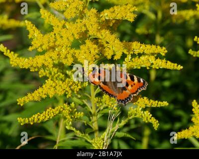 Butterfly urticaria on the yellow flowers in summer day, close up - Stock Photo