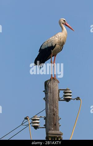 White stork (Ciconia ciconia) perched on utility pole in spring - Stock Photo
