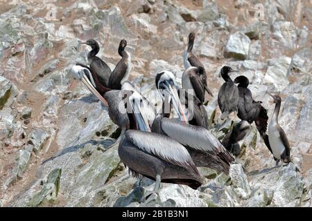 PERUVIAN PELICAN (Pelecanus thagus), pelicans perched on rocks in the Ballestas Islands, in Paracas. Lima Peru - Stock Photo