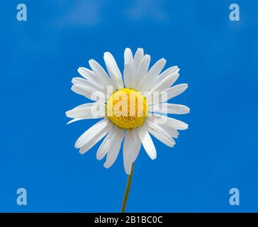 Chamomile or daisies isolated on blue background. Macro shot of wild chamomile on a blue sky. Ox eye daisy flower head isolated against summer sky a g - Stock Photo