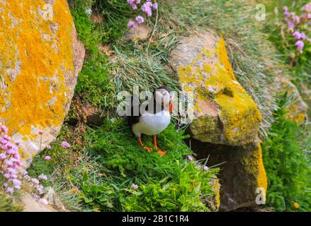 Common Atlantic puffin, Fratercula arctica, on steep grass cliff beside burrow entrance. Yellow lichen covered rocks and pink thrift flowers. Ireland