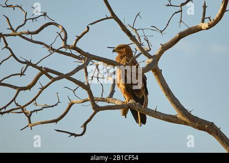 A Tawny Eagle perching on a tree - Stock Photo