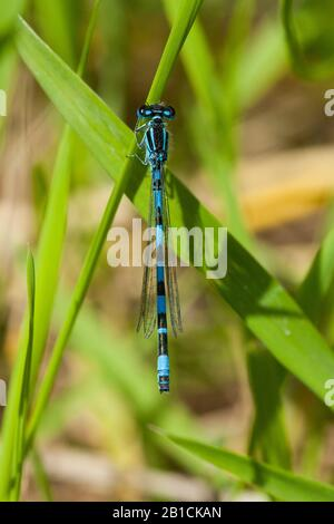 Southern damselfly (Coenagrion mercuriale), male, Germany, Thueringen - Stock Photo