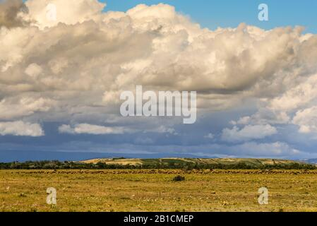 domestic sheep (Ovis ammon f. aries), large flock of sheep, France, Parc Naturel Regional la Crau - Stock Photo