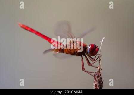 Broad Scarlet, Common Scarlet-darter, Scarlet Darter, Scarlet Dragonfly (Crocothemis erythraea, Croccothemis erythraea), male, Gambia - Stock Photo