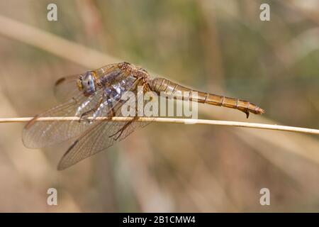 Broad Scarlet, Common Scarlet-darter, Scarlet Darter, Scarlet Dragonfly (Crocothemis erythraea, Croccothemis erythraea), female, Spain, Huelva - Stock Photo