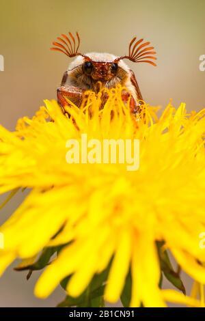 Common cockchafer, Maybug, Maybeetle (Melolontha melolontha), sitting on dandelion, Netherlands, Frisia, Delleboersterheide