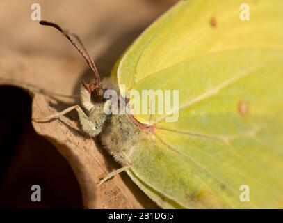 detail of clouded yellow or sulphur butterfly, wild - Stock Photo