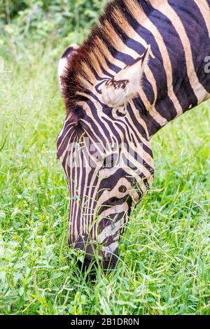 Portrait of a zebra grazing on fresh green grass in the countryside image in vertical format - Stock Photo