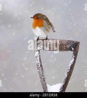 Robin Erithacus rubecula, on garden fork, in snow, Aberdeenshire, Scotland - Stock Photo