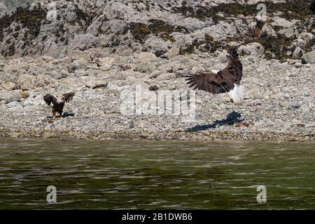 Close-up of Bald Eagle sitting on rocks and spreading wings next to the river - Stock Photo