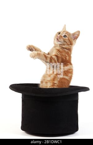Red Tabby Domestic Cat, Kitten playing in Hat against White Background